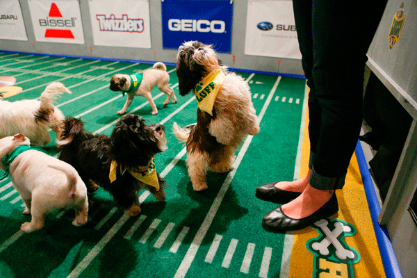 A puppy on Team Fluff stands on the turf, almost ready to begin the game.