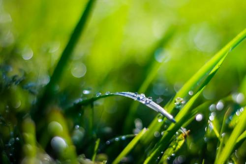 Raindrops rest on the grass as March precipitation levels continue to increase. Feb. was marked one of the wettest  months on record, and the continued rainfall of March has created moderate ragweed pollen levels across North Texas. (Seth Miller Photo)